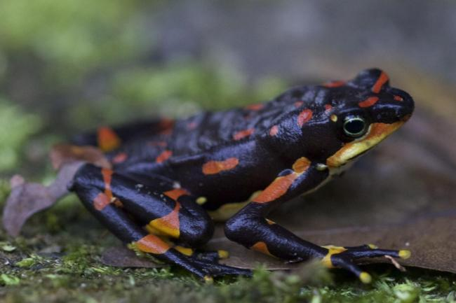 The Harlequin frog
