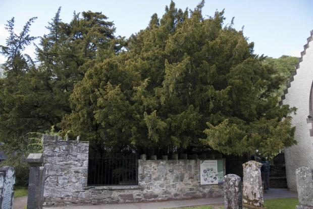 Irvine Times: Fortingall Yew