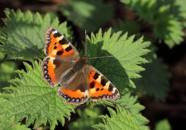 Butterfly count taking place in Irvine