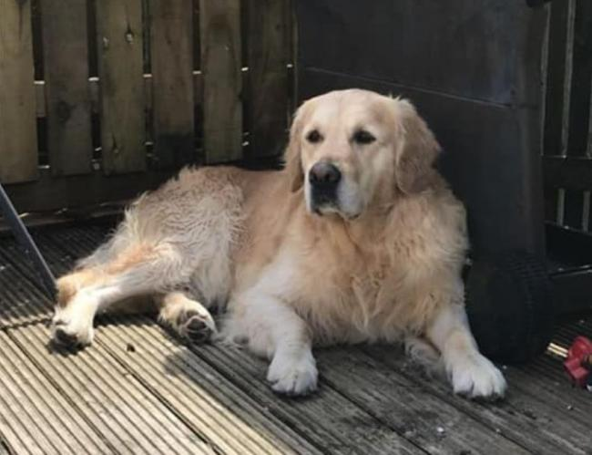 Golden Retriever Duffy missing in Gailes area